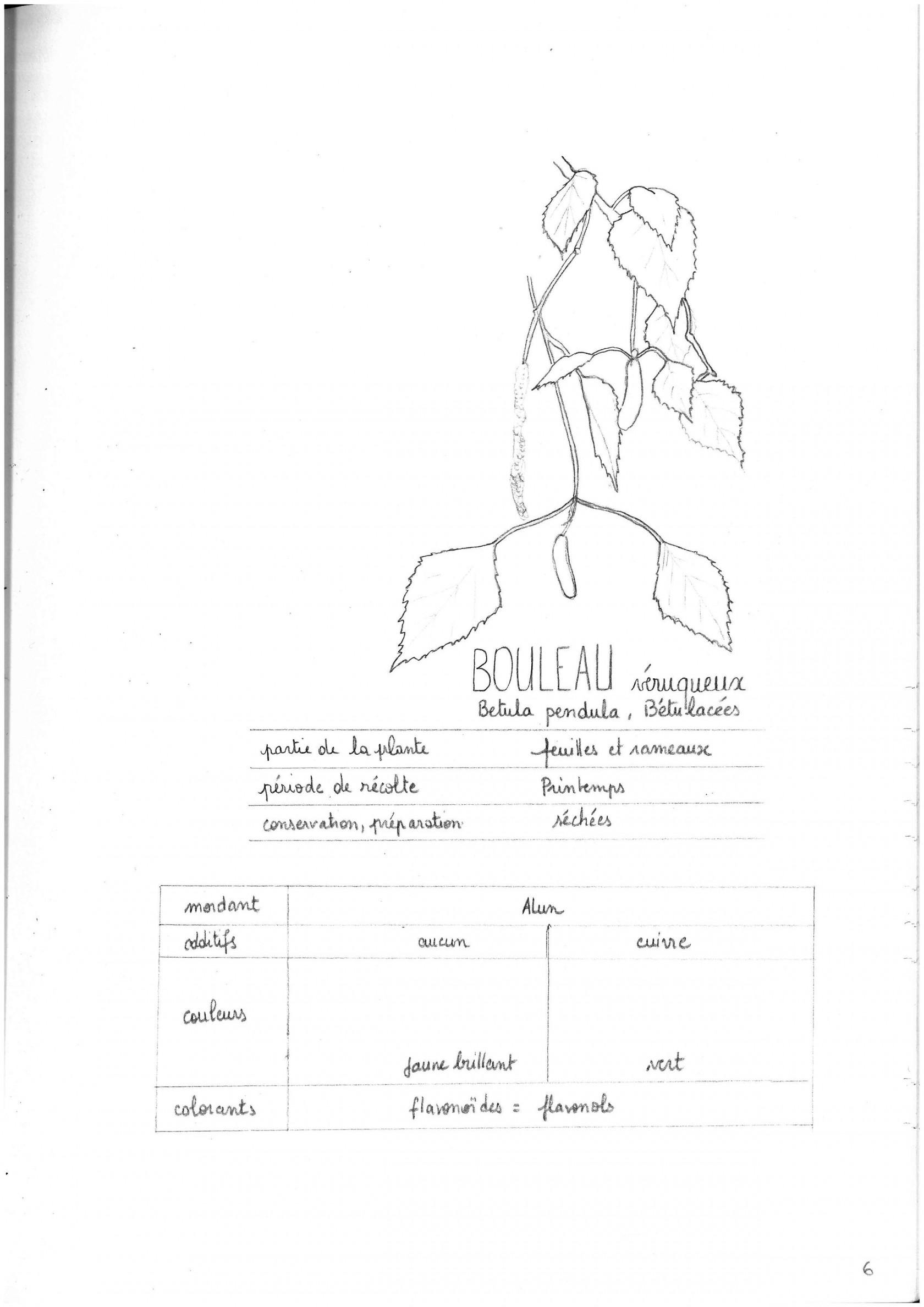 bouleauveruqueuxp6.jpg