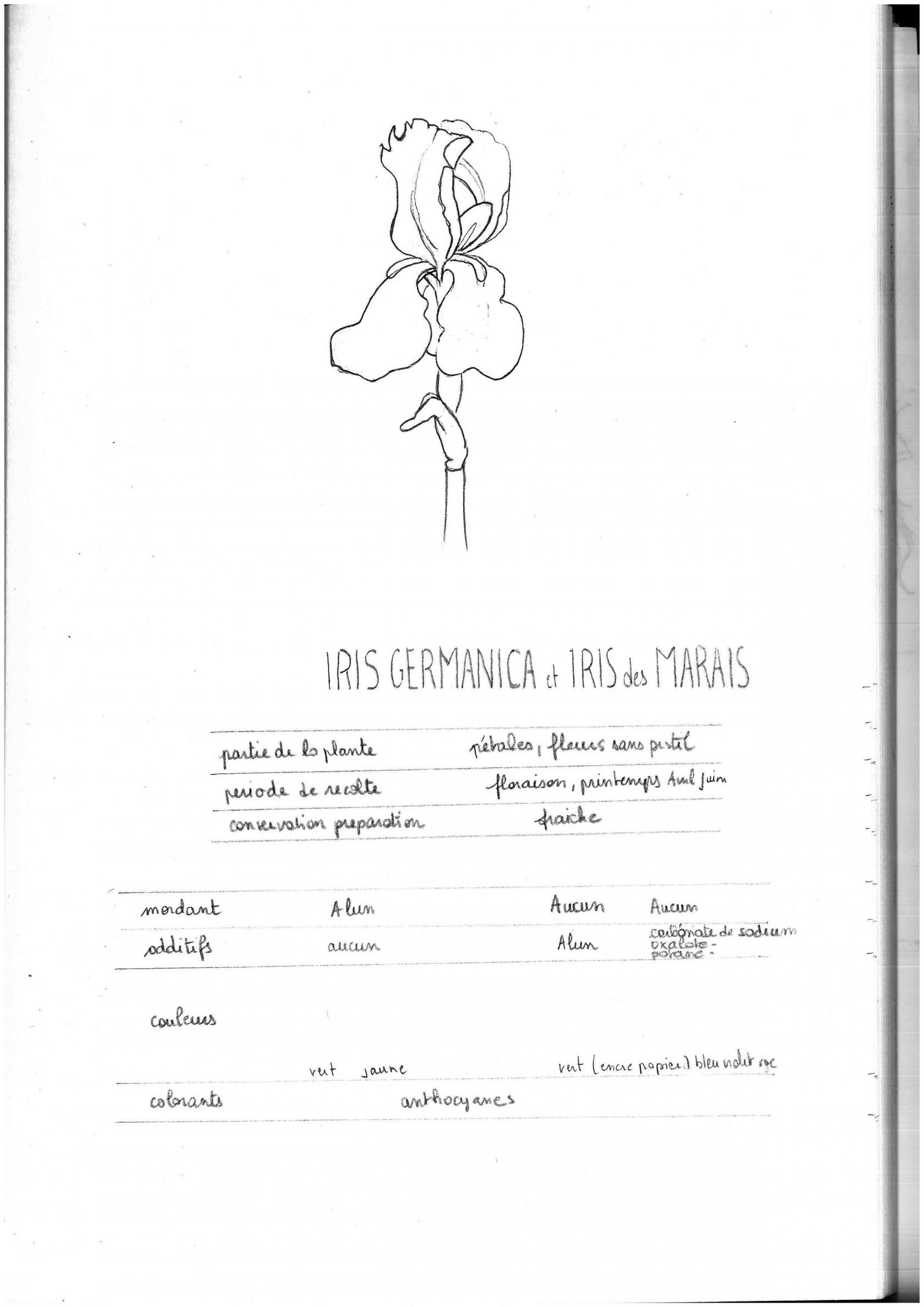 irisgermanicap25.jpg
